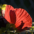 Hibiscus 10 by Thomas Woolworth