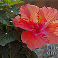 Hibiscus 2 by Alan Look