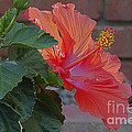 Hibiscus 3 by Alan Look
