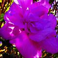 Hibiscus 4 by Ingrid Smith-Johnsen