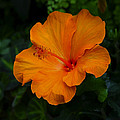 Hibiscus 9 by Ingrid Smith-Johnsen