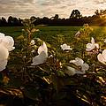 Hibiscus At Sunrise  by Randall Branham