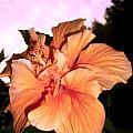 Hibiscus At Sunset by Sylvia Herrington