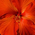 Hibiscus by Christine Olson