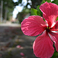 Hibiscus by Frederico Borges