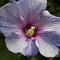Hibiscus by Howard Stapleton