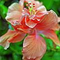 Hibiscus IIi by Paola Correa de Albury