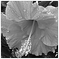 Hibiscus by Jessica Coyle