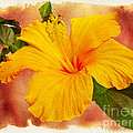 Hibiscus - Mango Sunshine by Mother Nature