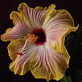 Hibiscus New by Jeffrey Peterson