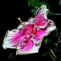 Hibiscus On Black - Three by Peter Lessey