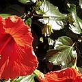 Hibiscus Red by Bobbee Rickard