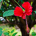 Hibiscus Rosa-sinensis / China Rose Flower by Image World