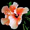 Hibiscus Spectacular by Ben and Raisa Gertsberg