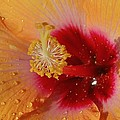Hibiscus Stamen IIi by Linda Brody