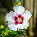 Hibiscus by Steve Harrington