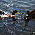 Hibred Ducks Swimming In Beech Fork Lake by Chris Flees