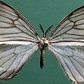 Hibrildes Moth Specimen by Science Photo Library