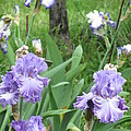 Hidden Iris by Iris Prints