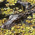Hiding Alligator by Larry Allan