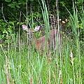 Hiding Deer by Chris Carswell