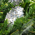 Hiding Hydrangea by Kim Pate