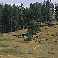 High Angle View Of Bisons Grazing by Panoramic Images