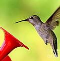 High Flying Hummingbird by Carol Groenen