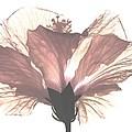 High Key Hibiscus by Angela Davies