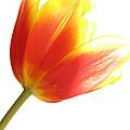 High-key Tulip by Nancy De Flon