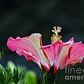 High Speed Hibiscus Flower by Byron Varvarigos