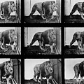 High-speed Sequence Of A Walking Lion By Muybridge by Eadweard Muybridge Collection/ Kingston Museum/science Photo Library