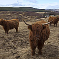 Highland Cattle Gang by Duncan Mackie