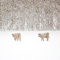 Highland Cattle In The Snow by Cheryl Baxter