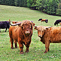 Highland Cattle by Ivan Slosar