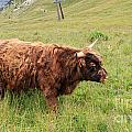 Highland Caw by Antonio Scarpi