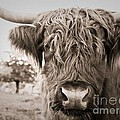 Highland Cow by Brothers Beerens