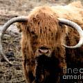 Highland Cow by Donna Cavanaugh