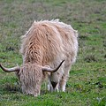 Highland Cow by FL collection