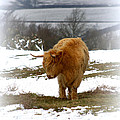 Highland Cow by Linsey Williams