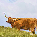 Highland Cow Watercolour by Chris Thaxter