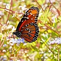 Hill Country Butterfly by Kristina Deane