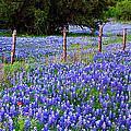 Hill Country Heaven - Texas Bluebonnets Wildflowers Landscape Fence Flowers by Jon Holiday