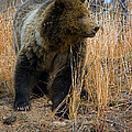 Hillside Grizzly by J L Woody Wooden
