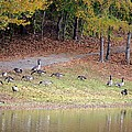 Hillside Of Canadian Geese by Maria Urso