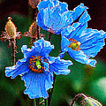 Himalayan Blue Poppy Flower by Jeelan Clark