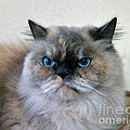 Himalayan Persian Cat by Catherine Sherman