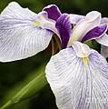 Hint Of Purple by Deborah Benoit