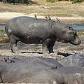 Hippo - Family by Martin Michael Pflaum