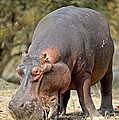 Hippo Grazing by Science Photo Library